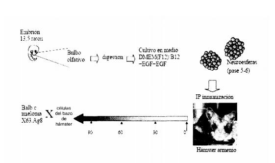 EXPERIMENTOS - ANTICUERPOS MONOCLONALES